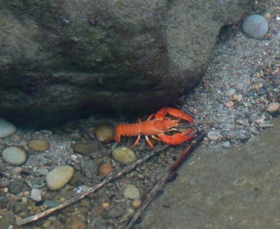 Cascade Ramblings - Critters: Crayfish: North Fork Smith River, Oregon